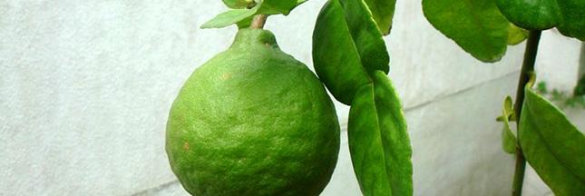 huile-essentielle-de-citron-vert-lime-03-ban