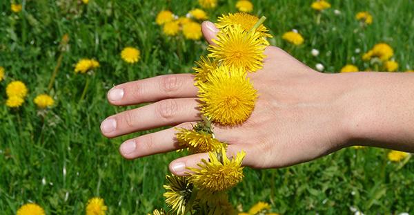 pissenlit-fleur-comestible