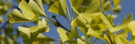 Le Ginkgo, arbre indestructible aux vertus miraculeuses