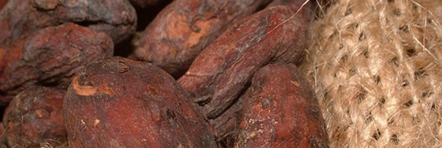 CCN-51 : le cacao hybride plébiscité pour faire face à la pénurie du chocolat