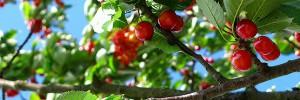 cerisier-arbre-fruitier-cerise-jardin-bio-juin-ete-00-ban