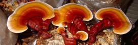 Le ganoderma (reishi): un champignon méconnu aux mille vertus