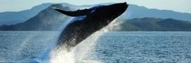 Islande; 40% de la viande de baleine consommés par les touristes