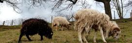 Eco-pâturage: les moutons broutent vos gazons