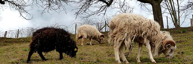Eco-pâturage : les moutons broutent vos gazons