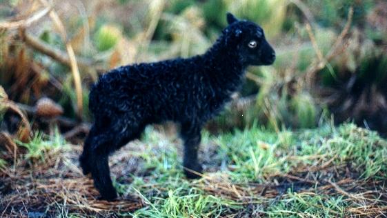 On emploie pour ça des moutons d'Ouessant © CC, Korigan
