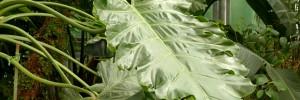 philodendron-plante-feuilles-arbre-exotique-jardin-bio-00-ban