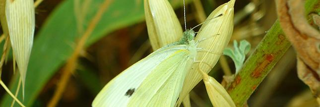 pieris-brassicae-pieride-du-chou-papillon-blanc-choux-potager-00-ban