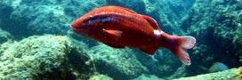 Alerte! forte raréfaction du poisson en Manche et Mer du Nord
