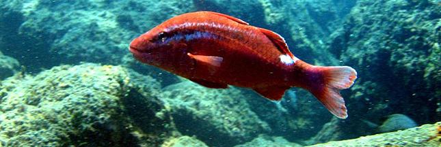 rouget-poisson-ban.jpg