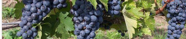 viticulteur bio