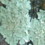 Faut-il enlever mousses et lichens des arbres fruitiers ?