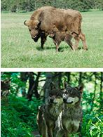 bisons-loups