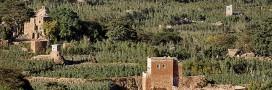 Le Khat: cette plante qui assoiffe tant le Yémen
