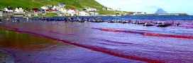 Taiji, îles Féroé: massacres de dauphins et traditions