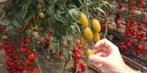 Tomate FW13
