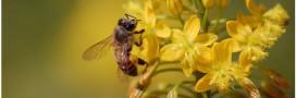 Les abeilles sauvages disparaissent elles aussi