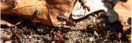 Insolite: des fourmis pour restaurer un écosystème menacé?