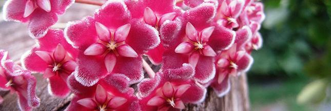 hoya-fleur-jardinage-marcottage-bouture-septembre-00-ban
