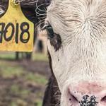 Ferme des 1000 vaches, 1000 veaux : l'opposition à l'élevage intensif s'organise...