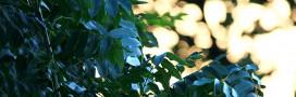 Un champignon d'Asie tue les forêts européennes