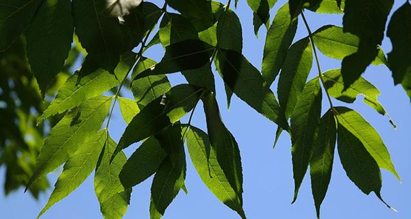 feuilles-frene-commun-cendres-fraxinus-excelsior-arbre-feuilles-caduques-bois-foret-01