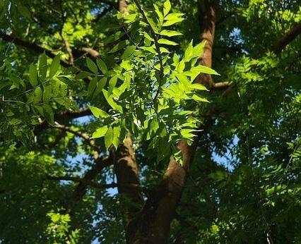 feuilles-frene-commun-cendres-fraxinus-excelsior-arbre-feuilles-caduques-bois-foret-02