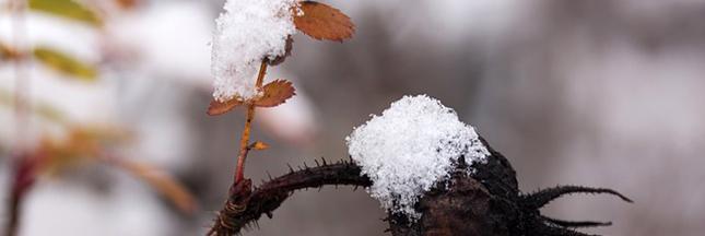 eglantier-arbre-hiver-serre-decembre-jardin-00-ban