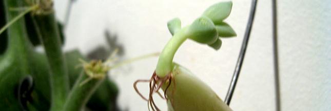 Plante d'intérieur : en novembre, bouturer le 'Kalanchoe beharensis'