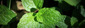 Comment faire pousser de la menthe (et en profiter)