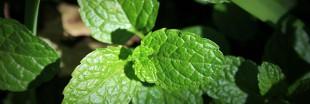 Comment cultiver la menthe (et en profiter)