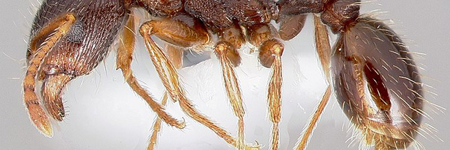 Des armées de fourmis nettoient discrètement... New York !