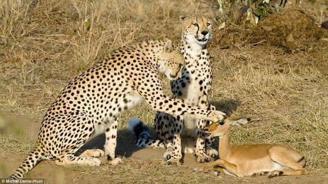 antilope-guepard