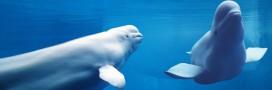 La baleine blanche contre l'or noir