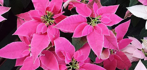 poinsettia-fleur-de-noel-etoile-plante-01