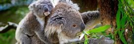 Espèces menacées: les koalas pourraient bientôt s'éteindre