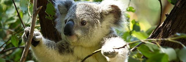koala-australie-espece-protegee-disparition-00-ban-b