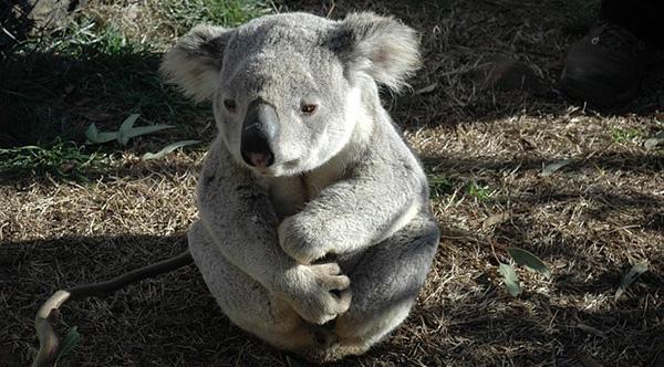 koala-australie-espece-protegee-disparition-01