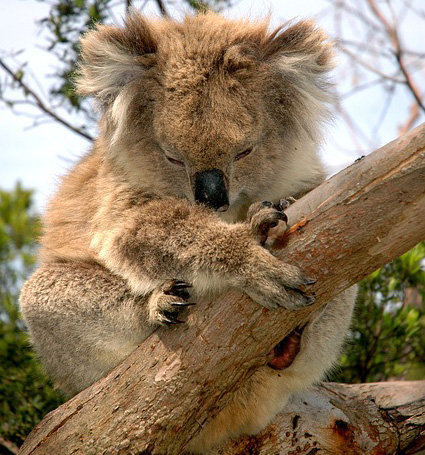 koala-australie-espece-protegee-disparition-03