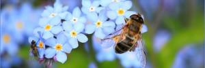 myosotis-abeille-fleur-pollinisation-pollen-00-ban