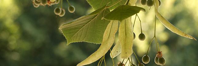 tea-tree-arbre-à-thé-cosmétique-00-ban