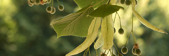Huile essentielle tea tree anti poux