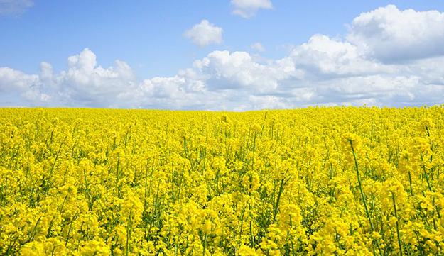 champ-de-colza-agriculture-alimentation-futur