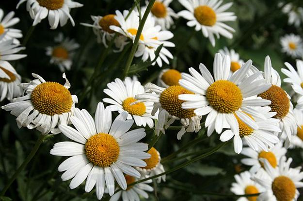 camomille-fleur-champs-pétales-bouton-tige-6