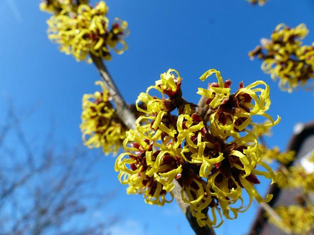 hamamélis-fleurs-floraison-plantes-lutter aphtes