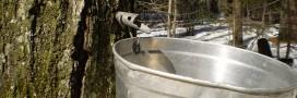 Le sirop d'érable: nouvelle arme anti bactérienne?