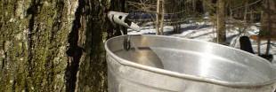 Le sirop d'érable : nouvelle arme anti bactérienne ?