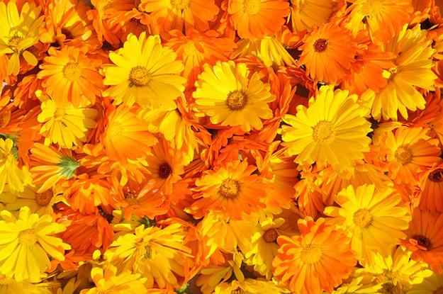 marigold-souci-calendula-officinalis-anti-inflammatoire-fleur