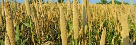 Le millet, une céréale parfaite pour manger «sans gluten»