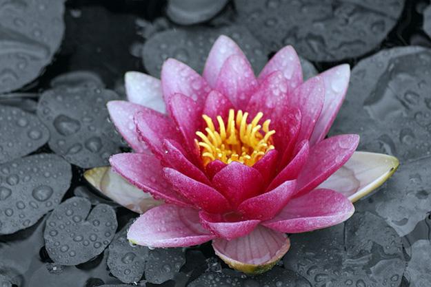nénuphar-eaux-florales-anti-inflammatoire-naturel-huile-essentielle